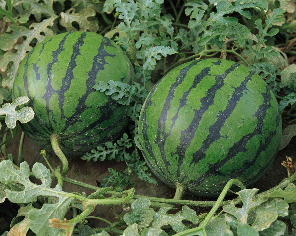 کود دهی به موقع به هندوانه