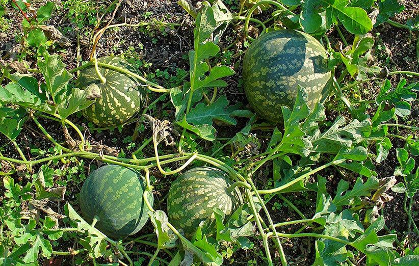 مراحل رشد هندوانه