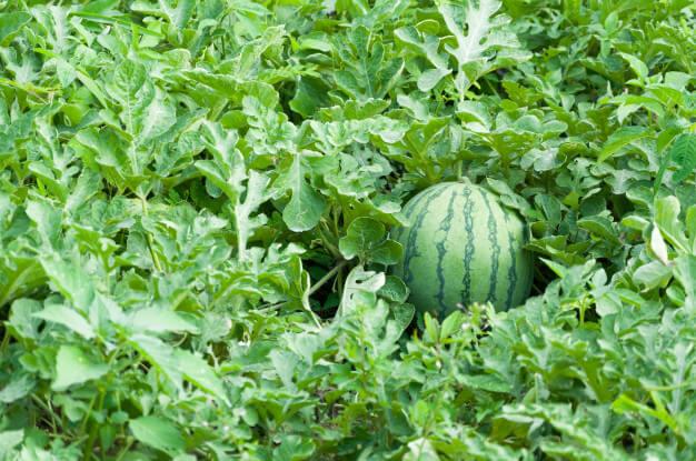 هندوانه آماده برداشت