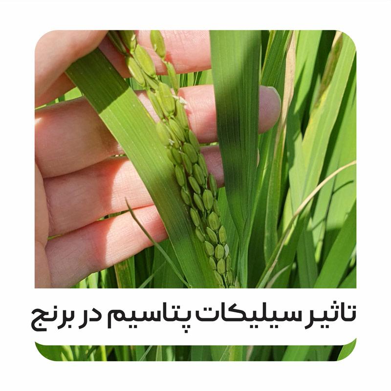 pottasium-silicate-impact-on-rice